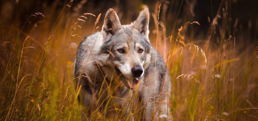 animal-totem-pouvoir-chamanisme-loup